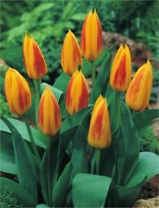 Bulbi Fiori Gialli.Bulbi 10 Pezzi Tulipano Giuseppe Verdi Fiori Giallo Rosso Perenni