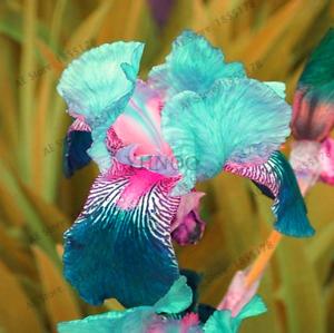 Nouveau-Perennial-Flowering-Plants-Iris-Orchid-Fleurs-Bonsai-Jardin-100-PIECES-graines-V