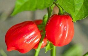 Semi//seeds PEPERONCINO HABANERO BIANCO