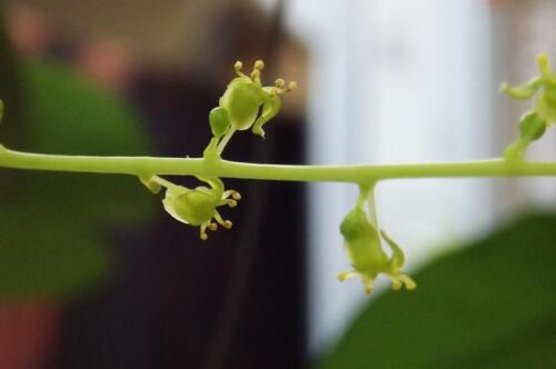 5 LIMB TINOSPORA CORDIFOLIA HERB PLANT FRESH FREE SHIPPING