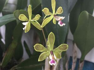 Planta Orquídea Encyclia granitica X tampensis Alba Bloom