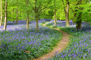 BLUEBELL-FOREST-CANVAS-WALL-ART-HOME-DECOR-PICTURE-PRINT-FRAMED-20X30-INCHES