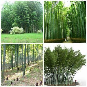 Chin Riesenbambus Samen 200 Stuck Moso Bambus Winterhart