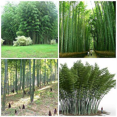 Chin. RIESENBAMBUS Samen - 200 (!) Stück - Moso Bambus - Winterhart Sichtschutz