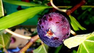 FEIGE-034-Viola-034-Zucker-Feige-lila-blau-winterhart-Ficus-carica-sehr-suess