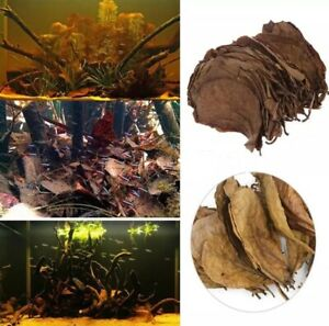 100-CATAPPA-INDIAN-ALMOND-Leaves-for-fish-healthcare-betta-shrimp-discus
