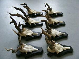 8 ABNORMALLY SKULLS ROE DEER ANTLERS  taxidermy skull hunting