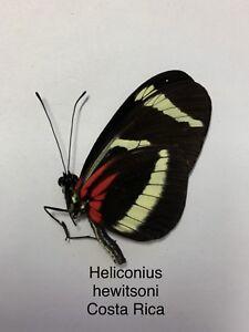 Heliconius hewitsoni A1 Papered Specimen Ex Costa Rica MHI0SkIm-09155243-928897340