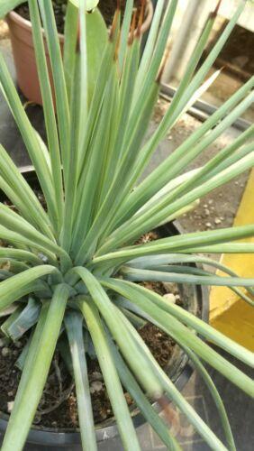 Agave stricta in vaso diam 20 cm Cactus