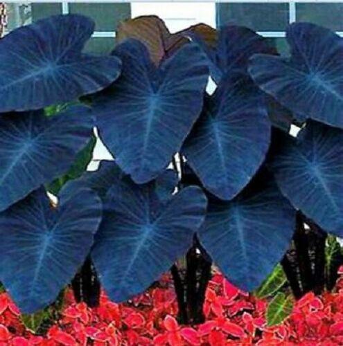Elephant Ear Bulbs Colocasia Perennial Bonsai Rare Caladiums Hardy Blue Balcony