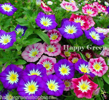 Dwarf Morning Glory Ensign Mix - 110 seeds  -  Convolvulus Tricolor - FLOWER