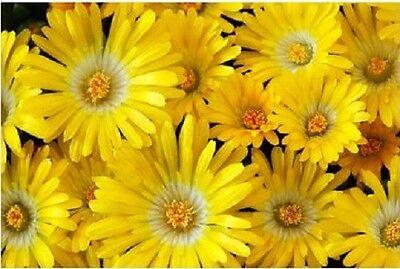 100 Gelato YELLOW ICE PLANT MESEMBRYANTHEMUM DAISY Livingstone Flower Seeds