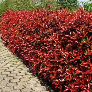 Image Is Loading 25 Photinia Red Robin Hedging Plants 20 30cm