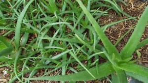 20 Asst Medicinal Aloe Vera Plants Fat And Healthy Organic Best Deal Az Ebay