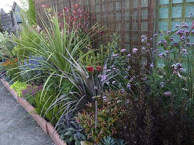*VALUE PACK*  5 X Mixed EVERGREEN Shrubs Garden Plants