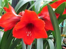 """Amaryllis Bulb - """"Red Lion"""" hippeastrum flower lily"""