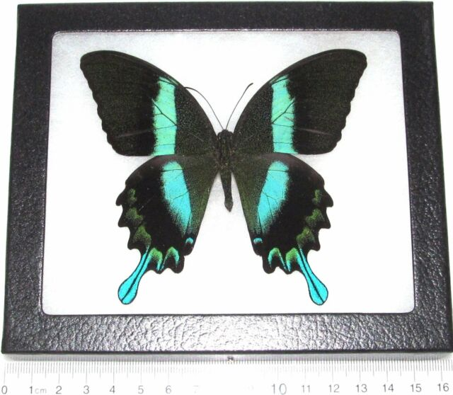 Real Framed Butterfly Blue Green Papilio Blumei Swallowtail ...