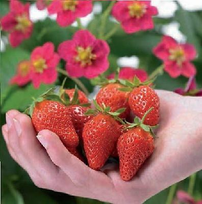 Fruit - Strawberry - Toscana - 5 Seeds
