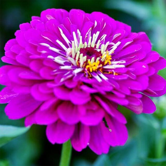 gt 120pcs beautiful purple blue marigold seeds garden flower plant seed decor