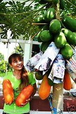 Thailand Sweet Papaya Seeds Imported Good Growing Papaya 10 Seeds Pack