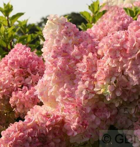 Hydrangea paniculata Rispenhortensie Vanille Fraise® 60-80cm
