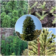 WOLLEMI PINE fresh tested seeds! One of the rarest trees in the world! JURASSIC