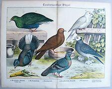 Chromo-Lithografie 1886: Taubenartige Vögel. Feld-Stein-Trommel-Purzel-Möventaub