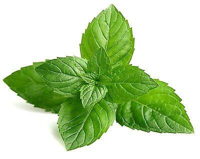 mentha × Piperita Peppermint Ez Grow Combsh E11 Fine Workmanship 250 Seeds Grow Your Own Herb