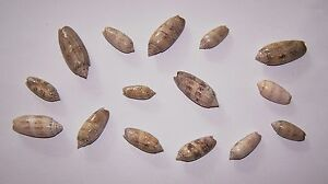 12 + 3 FREE - LETTERED OLIVES (FAMILY OLIVIDAE) FROM GULF OF MEXICO - NEW!!