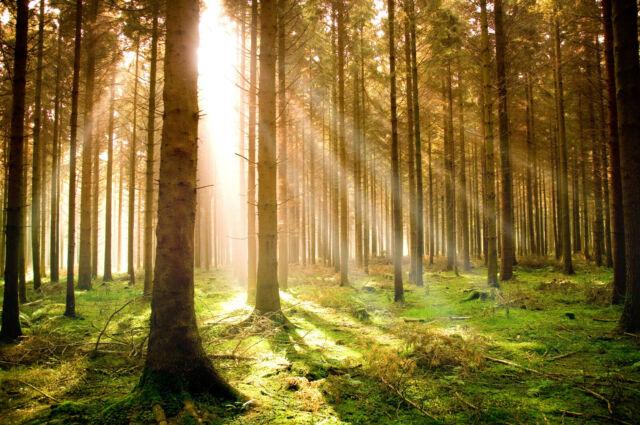 459V -Bäume Sonne Herbst Steine Wiese Blumen Berge VLIES Fototapete-KIEFER-WALD-