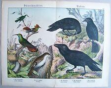 Chromo-Lithografie 1886: Dünnschnäbler. Raben. Baumläufer Kolibri Kolkrabe Raben