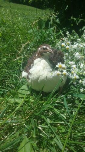 Tibetan Corurnix Hatching Eggs By Myshire Farm 50 WILL INCLUDE TUXEDO  VARIETY
