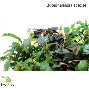 Image Is Loading Bucephalandra Species Live Aquarium Plants  Terrarium Tropical Aquascaping