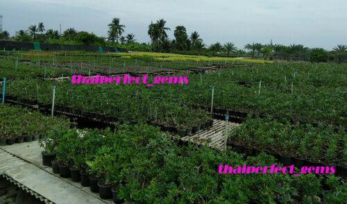 "NEW ADENIUM /"" 12 Types/"" 12 GRAFTED PLANTS RARE!!"