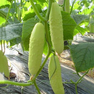 100 stk Seeds Gurke Weißer Engel Rarität Gurkensamen Pflanze Gemüsesamen s Q2G5