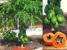 """Carica Papaya """"Ishigaki Sango"""" DWARF 'Solo smaller type fruit' tree plant SEEDS!"""