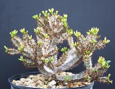 Euphorbia AUREOVIRIDIFLORA @J@ exotic madagascar rare bonsai cacti seed 10 seeds