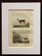 Impresión de color mano montado Buffon Antiguo c.1800 - grabado-Ciervo-Antílope