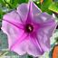 Beach Morning Glory   Ipomoea pes-caprae   Organic  10 Seeds Free US Shipping