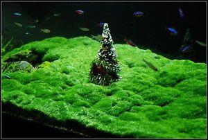 Hemianthus-callitrichoides-Cuba-4x8cm-plante-aquarium-avant-plan-crevettes