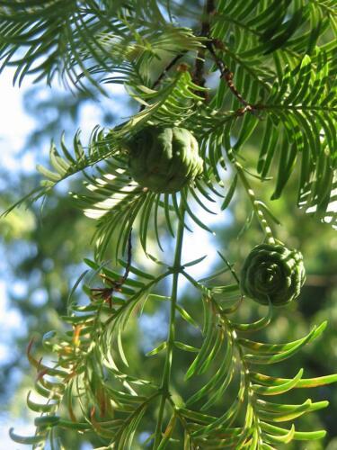 Urweltmammutbaum Metasequoia glyptostroboides Pflanze 40cm Sequoia Mammutbaum