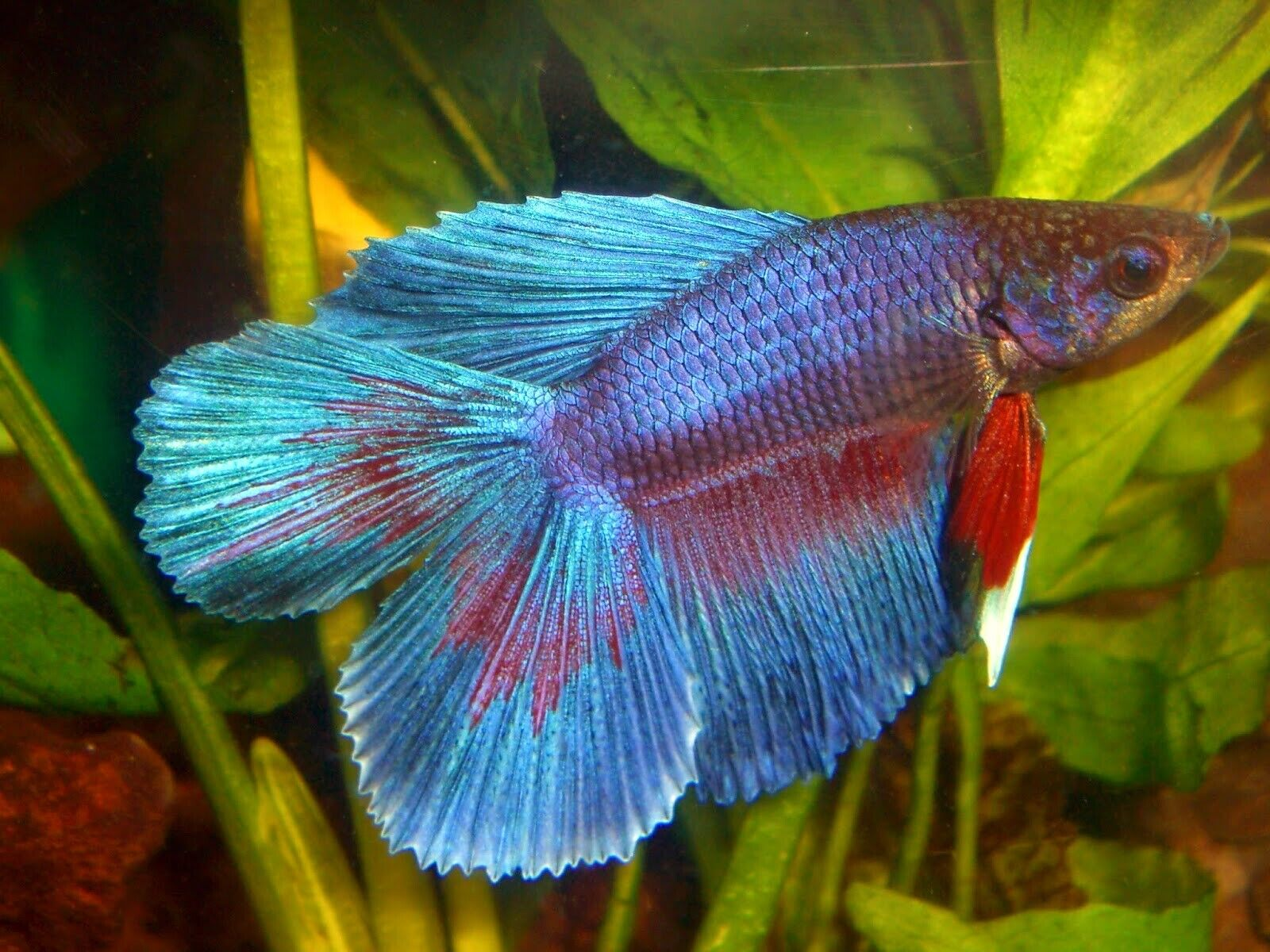 10 (ten) Assorted Betta Double Tail SD Males (Siamese Fighting Fish)