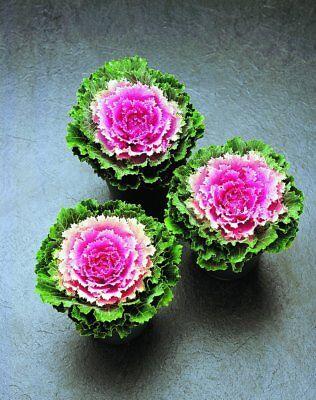 Kale Seeds Flowering Kale Songbird Pink 50 Seeds Ornamental