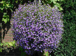 Lobelia Crystal Palace Cascade 200 Seeds Beautiful Ground Cover Rock