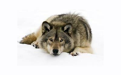 WOLF IN THE SNOW GLOSSY POSTER PICTURE PHOTO husky wolves hanging wall decor 451
