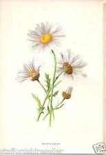 Vintage Wild Flowers Print Chromolithograph c1880: Ox Eye Daisy by F E Hulme