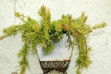 Rhipsalis Mesembryanthemoides, epiphyllum cacti succulent plant seed 20 SEEDS