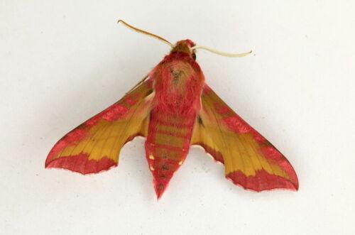 Deilephila porcellus Sphingidae moth from Siberia Russia papered