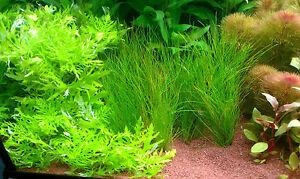 1-Bund-Indische-Wasserstern-Hygrophila-difformis