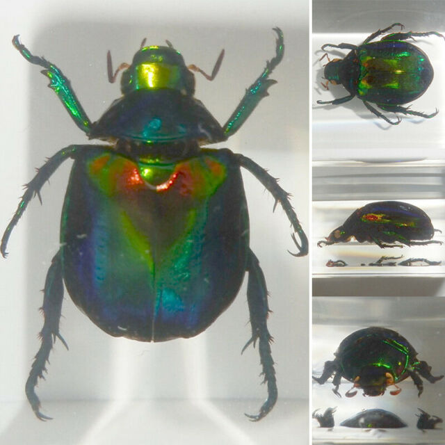 Real insects scarab beetle in crystal clear resin information Specimen gift
